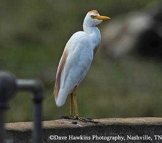 Cattle Egret 1