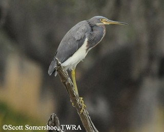 Tricolored Heron 1