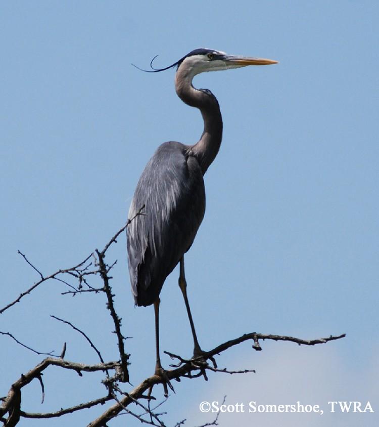 tennessee watchable wildlife great blue heron habitat water