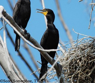 Double-crested Cormorant 1