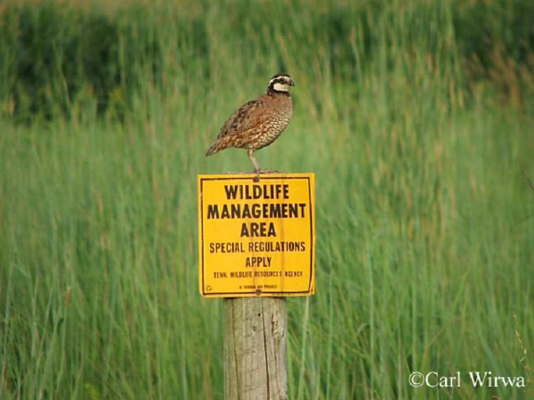 Tennessee Watchable Wildlife | Northern Bobwhite - Habitat