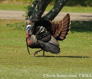 Wild Turkey 1