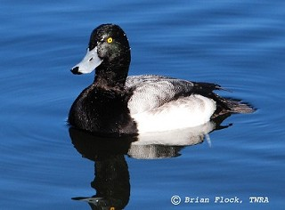 Greater Scaup 1