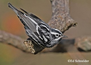 Black-and-white Warbler 1