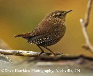 Winter Wren 1
