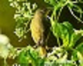 Nashville Warbler 1
