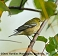 Bay-breasted Warbler 10