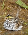 Savannah Sparrow 10