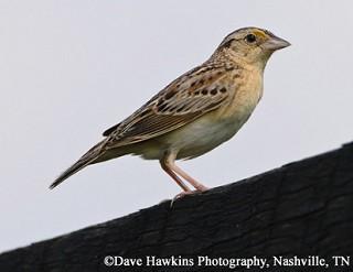 Grasshopper Sparrow 1