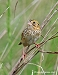 Henslow's Sparrow 10