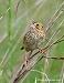 Henslow's Sparrow 10