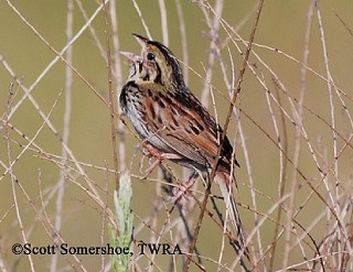 Henslow's Sparrow 1