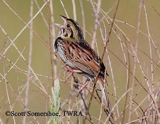 Henslow's Sparrow 1