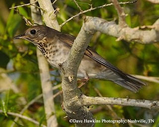 Gray-cheeked Thrush 1