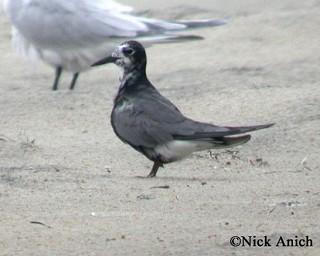Black Tern 1