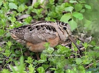 American Woodcock 1