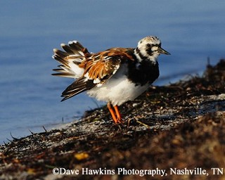 Ruddy Turnstone 1