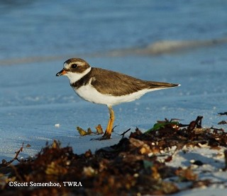 Semipalmated Plover 1