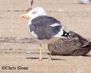 Lesser Black-backed Gull 1