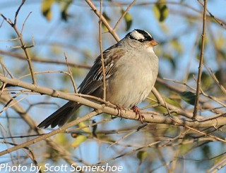 White-crowned Sparrow 1