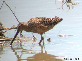 Long-billed Dowitcher 1