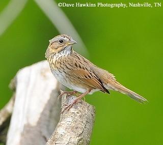 Lincoln's Sparrow 1