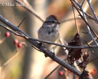 American Tree Sparrow 1