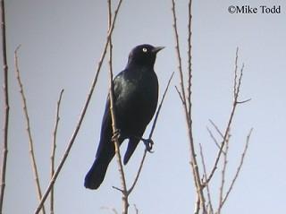 Brewer's Blackbird 1