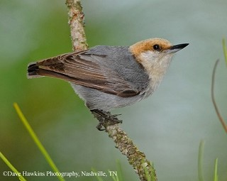 Brown-headed Nuthatch 1