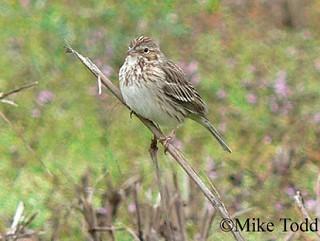 Vesper Sparrow 1