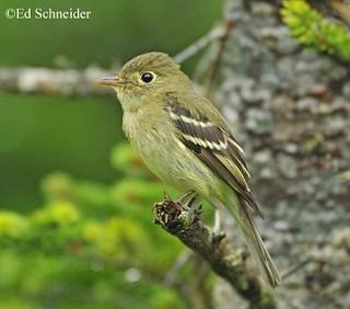 Yellow-bellied Flycatcher 1