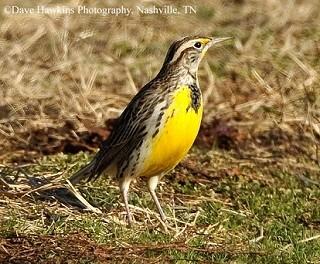 Western Meadowlark 1