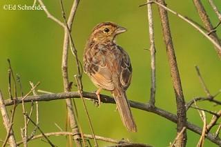 Bachman's Sparrow 1