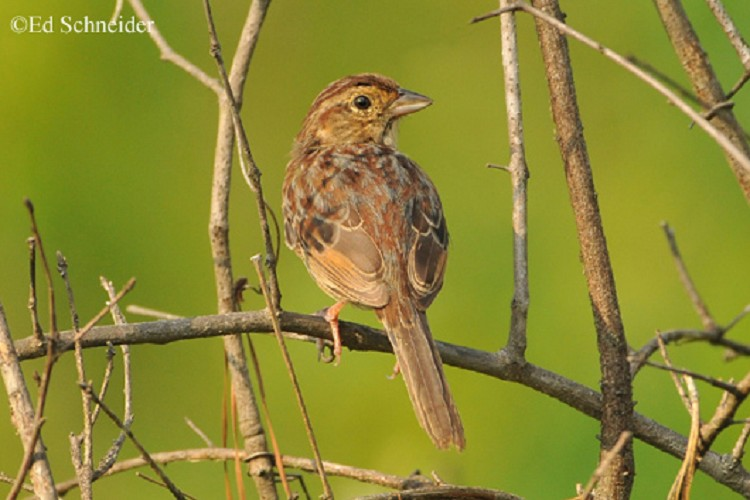 bachman sparrow In the southeastern us, bachman sparrow is a year-round resident of open pine woodland habitats with 50% or less canopy cover, a dense ground cover (  60%) below 3ft in height and limited mid-story cover ( 10%.