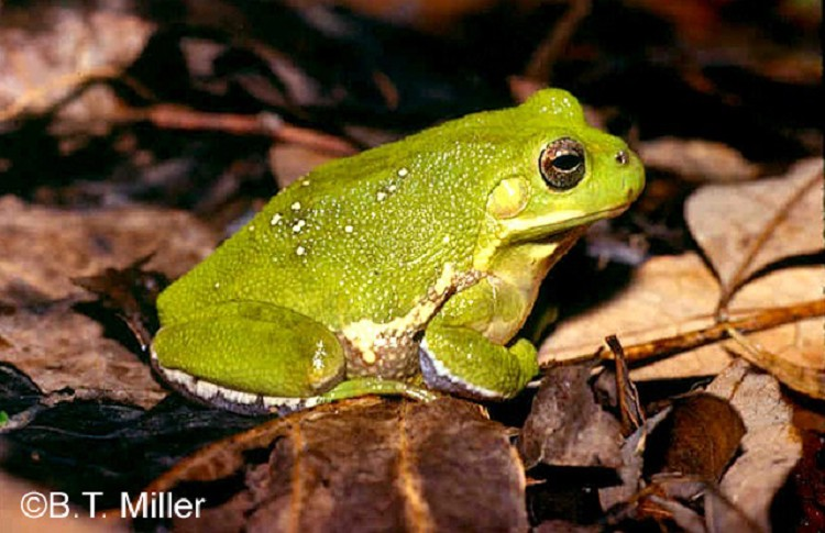 Tennessee Watchable Wildlife | Barking Treefrog