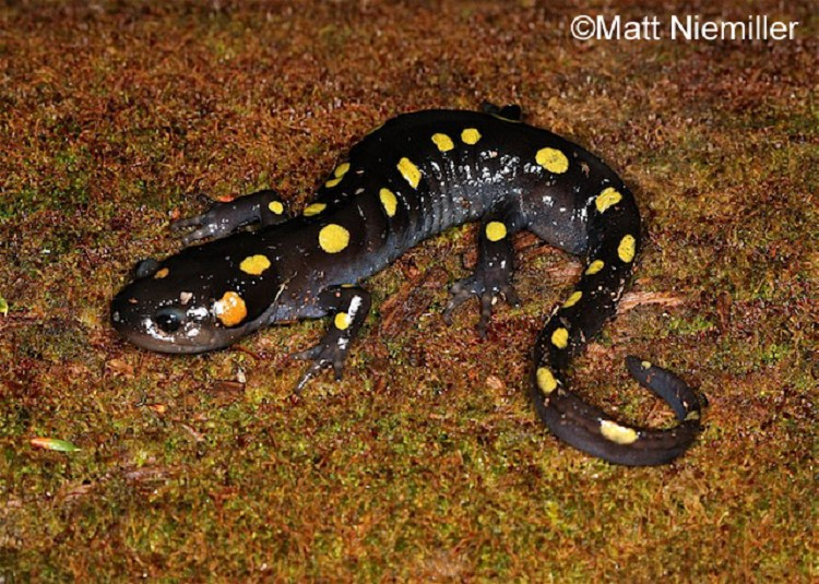 Tennessee Watchable Wildlife   Spotted Salamander
