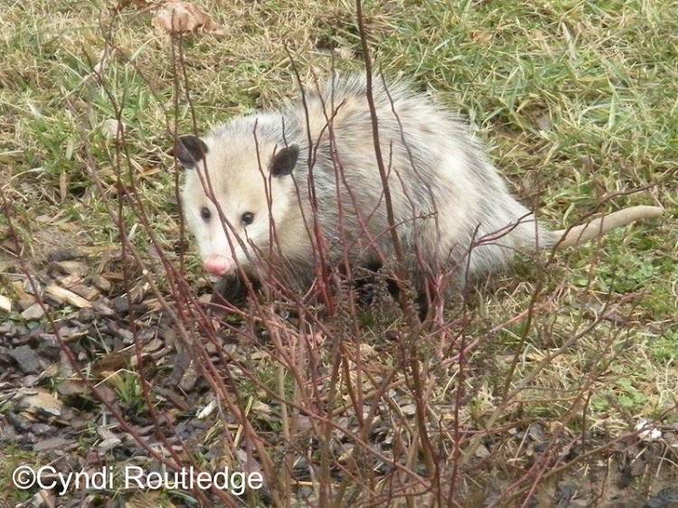 Tennessee Watchable Wildlife | Virginia Opossum (Hunted)