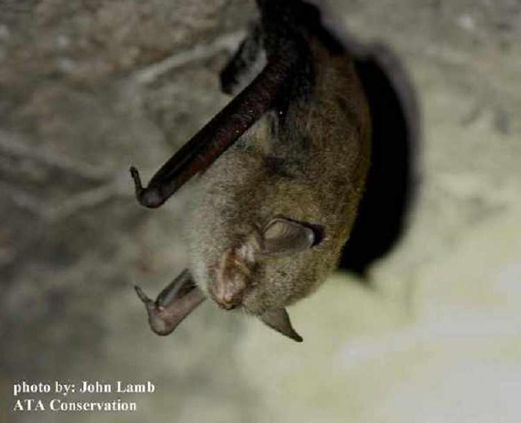 share mammals bats indiana bat indiana bat myotis federally endangered