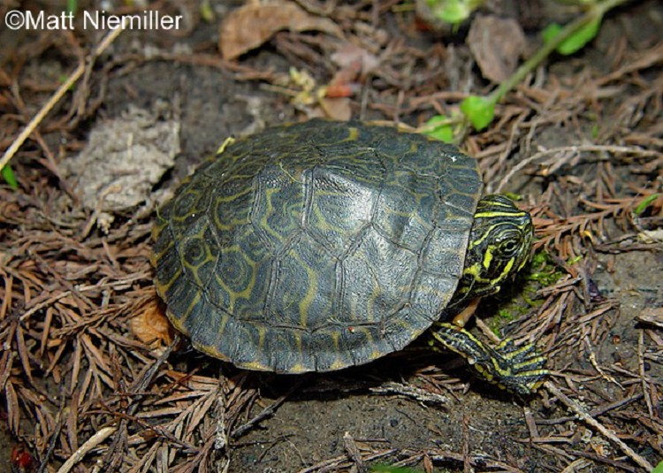 false map turtle tennessee watchable wildlife river cooter