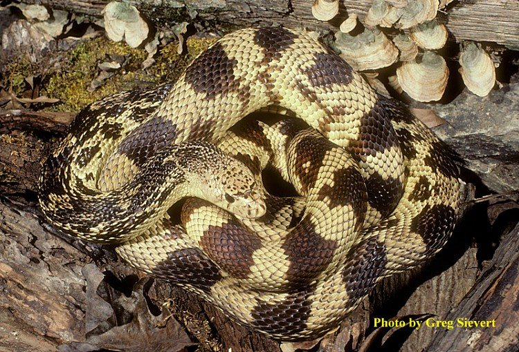 Tennessee Watchable Wildlife   Pinesnake