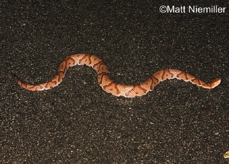 Red Poisonous Snakes in Tennessee http://www.tnwatchablewildlife.org ...