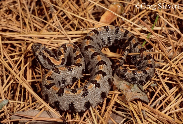 Tennessee Watchable Wildlife | Pygmy Rattlesnake