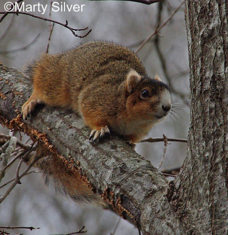 tennessee watchable wildlife eastern fox squirrel hunted