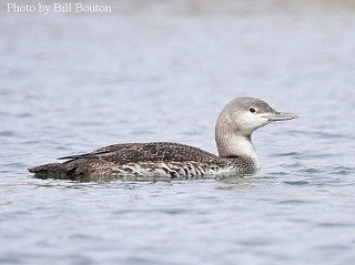 Red-throated Loon 1