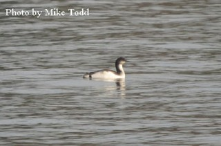 Pacific Loon 1