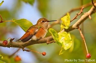 Rufous Hummingbird 1